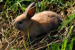 Rothaariges Kaninchen auf dem Bauernhof Rothaarige Hasen auf dem Gras in der Natur Lizenzfreies Stockbild