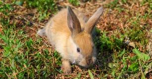 Rothaariges Kaninchen auf dem Bauernhof Rothaarige Hasen auf dem Gras in der Natur Stockfotografie