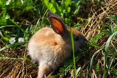 Rothaariges Kaninchen auf dem Bauernhof Rothaarige Hasen auf dem Gras in der Natur Lizenzfreie Stockbilder