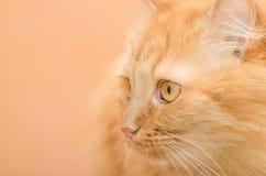 Rothaariges Katzennahaufnahmeporträt Stockbild