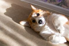 Rothaarigewelpe Corgihund stockfotos