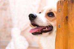 Rothaarigewelpe Corgihund stockfotografie