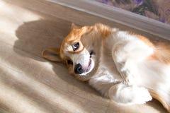 Rothaarigewelpe Corgihund lizenzfreie stockfotos