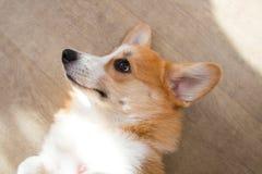 Rothaarigewelpe Corgihund stockfoto