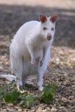 Rothalsiges Wallaby des Albinos Lizenzfreie Stockfotografie