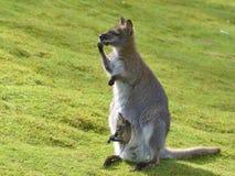 Rothalsiges Wallaby und sein joey lizenzfreies stockfoto