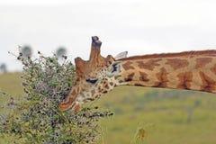 Rothchild's Giraffe Eating Acacia Leaves Stock Images