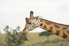 Rothchild's Giraffe eating from an Acacia Tree Royalty Free Stock Photos