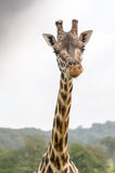 Rothchild's giraffe eating leaves at longleat Stock Photos