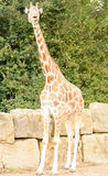 Rothchild's giraffe eating leaves at longleat Stock Photo