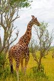 Rothchild's Giraffe eating from a tree Royalty Free Stock Photo