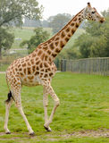 Rothchild's giraffe Stock Photography