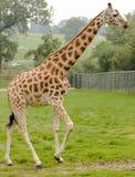 Rothchild's giraffe Stock Photography