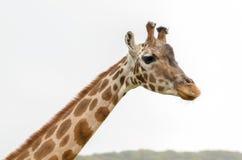 Rothchild's giraffe Stock Image