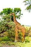 A rothchilds giraffe Stock Images