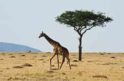 rothchilds giraffe in Kenya Royalty Free Stock Photos