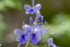 Rotheca myricoides blue flowering plant, group of flowers on shrub branches in bloom. Green leaves royalty free stock photos