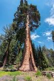 Rotholz-Bäume im Mammutbaum-Nationalpark, Kalifornien stockfoto