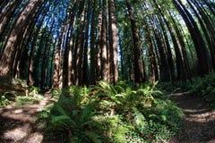 Rotholz-Bäume und Farne in Nord-Kalifornien lizenzfreies stockbild