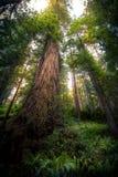 Rotholz-Baum Stockfoto