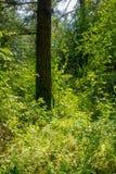 Rotholz-Regen Forest Sunny Spring Afternoon stockfoto