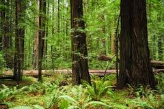 Rotholzbäume Stockfotografie