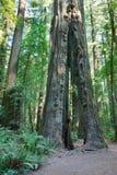 Rotholzbäume stockfoto