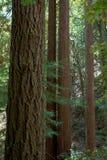 Rotholzbäume lizenzfreie stockfotos