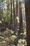 Rotholzbäume Stockbild