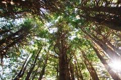 Rotholzbäume mit Sonnenlicht Stockfotografie
