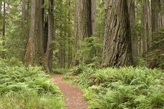 Rotholzbäume mit wandernder Spur. Stockfoto