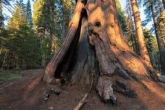 Rotholzbaum im Mammutbaum-Nationalpark lizenzfreie stockfotos