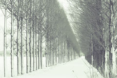 Rotholzbaum mit Schnee Stockbilder