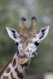 Rothschild的长颈鹿的垂直的画象面孔和脖子 免版税图库摄影