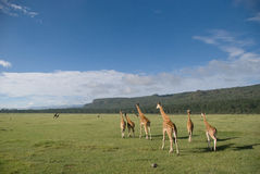 Rothschild的长颈鹿 免版税库存照片