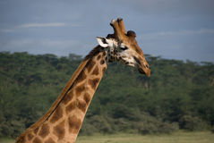 Rothschild的长颈鹿 免版税库存图片