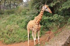 Rothschild长颈鹿侧视图  免版税库存图片