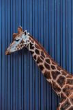 Rothschild长颈鹿的头和脖子 库存照片