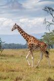 Rothschild长颈鹿走 免版税库存图片