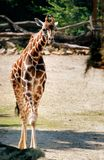 Rothschild长颈鹿 库存图片