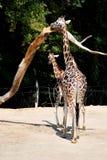 Rothschild长颈鹿 免版税图库摄影