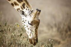 Rothschild żyrafa opiera w dół jeść w Jeziornym Nakuru, Kenja Afryka, Giraffa camelopardalis rothschildi obraz stock