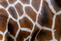Rothschild giraff, hud Arkivbilder