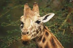 Rothschild Giraffe Royalty Free Stock Image