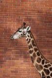 Rothschild giraffe Stock Image