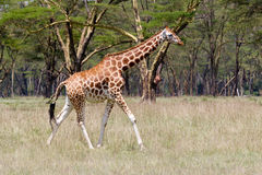 Rothschild Giraffe Royalty Free Stock Photo