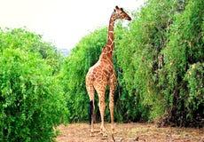 Rothschild giraffe Royalty Free Stock Photography