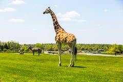 Rothschild Giraffe Lizenzfreies Stockbild