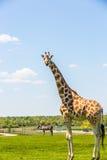 Rothschild Giraffe Stockfotos