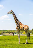 Rothschild Giraffe Lizenzfreie Stockbilder